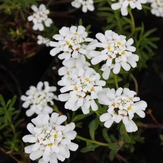 Schleifenblume Weißer Zwerg, Iberis, Bodendecker