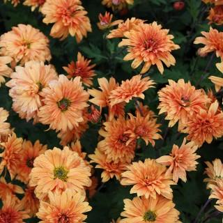 Winteraster Mandarine, Aster, Herbst