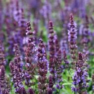 Salbei Blaukönigin, Salvia, Bienenfreundlich, Blütenkerzen