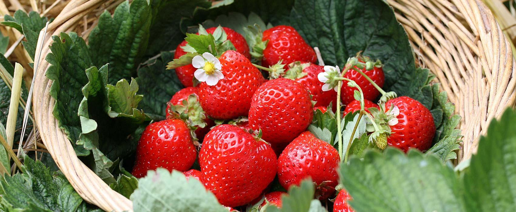 Erdbeeren-Gartentipp
