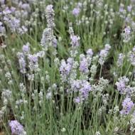 Lavendel, Lavandula, Duftpflanze, Blütenstrauch
