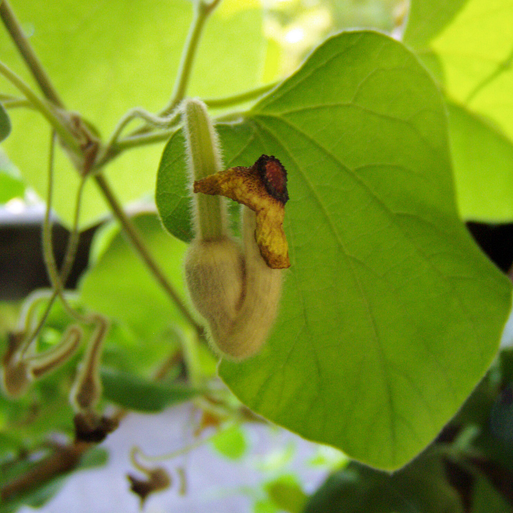 pfeifenwinde aristolochia macrophylla schnellwachsende kletterpflanze native plants. Black Bedroom Furniture Sets. Home Design Ideas