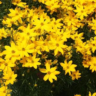 Mädchenauge Grandiflora, Blütenstaude