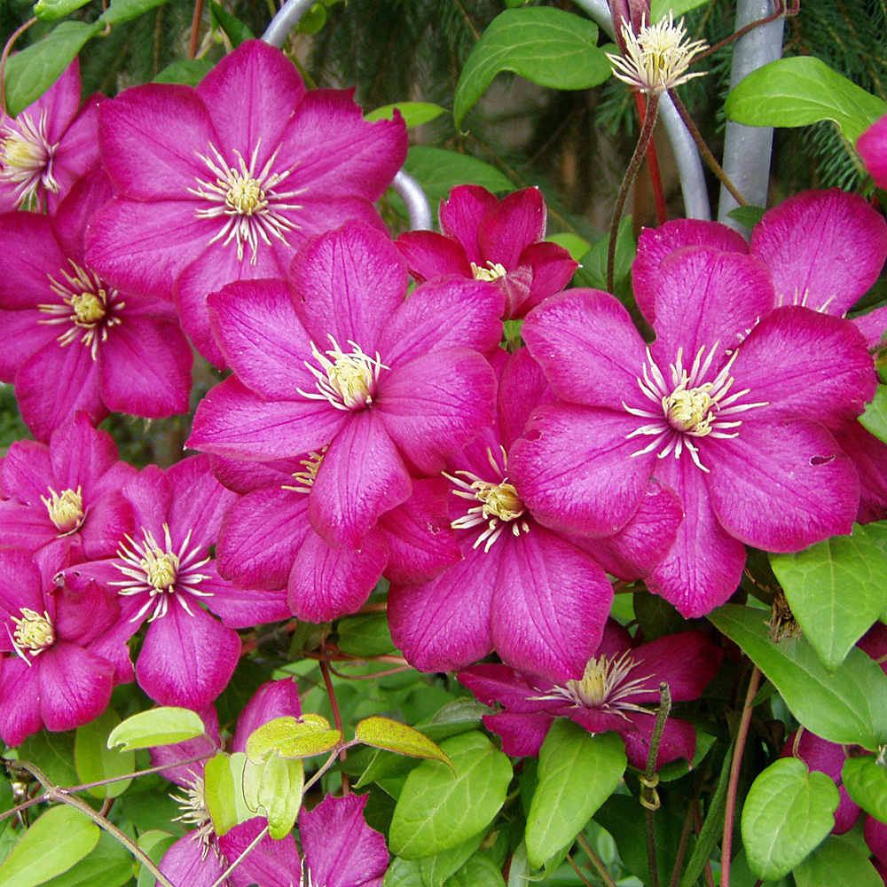 clematis 39 ville de lyon 39 native plants. Black Bedroom Furniture Sets. Home Design Ideas