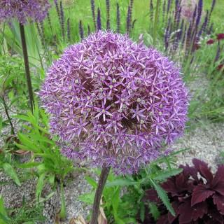 Riesenlauch, Lauch, Zwiebelpflanze, Frühjahrsblüher
