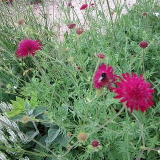 Witwenblume, Bienenweide