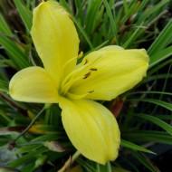 Taglilie Corky, Hemerocallis, Blütenstaude