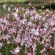 Prachtkerze Appleblossom, Gaura, Filigrane Blütenstaude