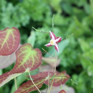 Eflenblume Galadriel, Epimedium, Beetpflanze