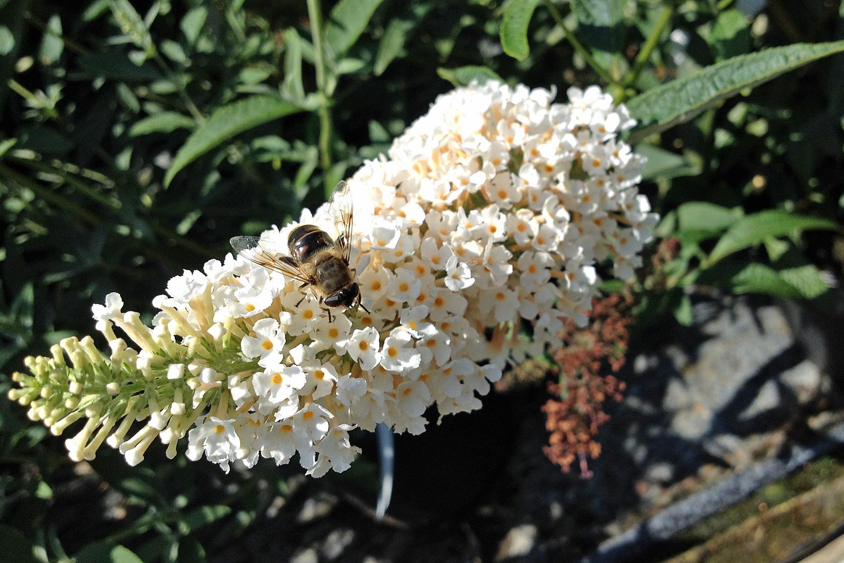 Sommerflieder - Pflanzen, pflegen, schneiden, gießen, düngen,