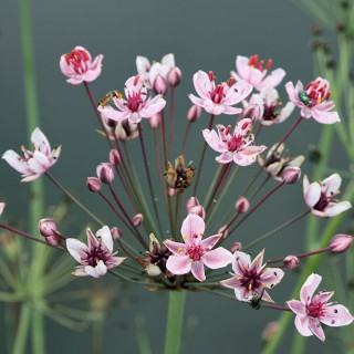 Blumenbinse, Butomus umbellatus, Wasserpflanze