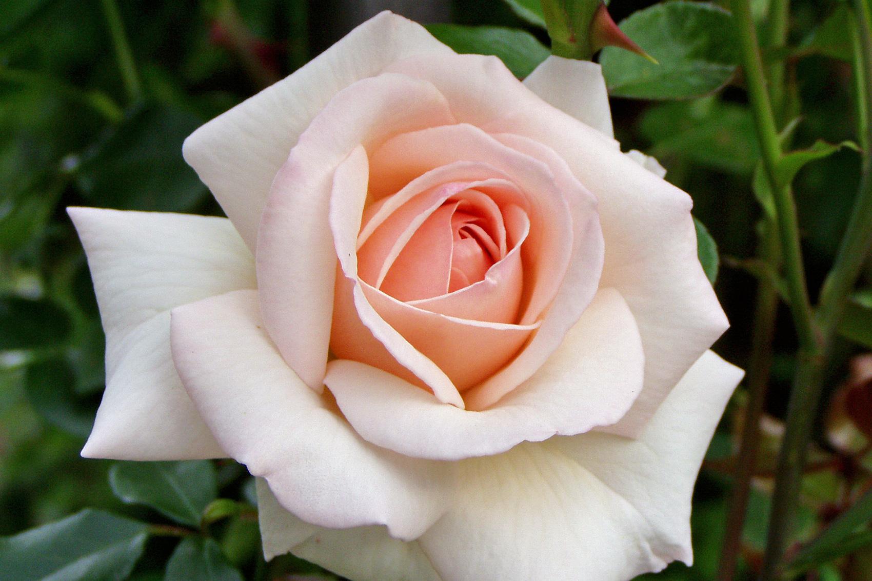Bilder Von Roten Rosen