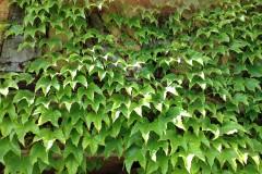 Pflanz- & Pflegeanleitung für Kletterpflanzen