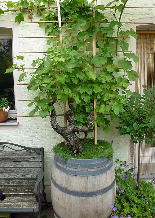 Weinfass mit Weinreben bepflanzen