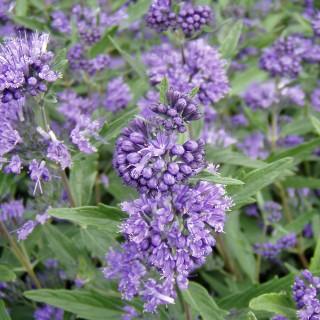 Bartblume Heavenly Blue, Bienenweide, Ziergehölz