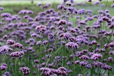 Blütenstauden für den Garten