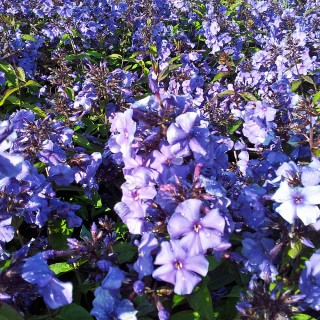 Phlox Blue Paradies, Flammenblume, Beetstaude