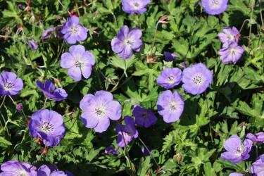Storchschnabel (Geranium) für Garten und Kübel