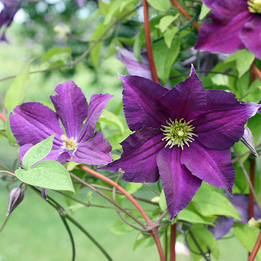 clematis viticella 39 viola 39 waldrebe native plants. Black Bedroom Furniture Sets. Home Design Ideas
