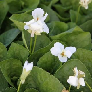 Pfings Veilchen Viola, Albiflora, Frühling