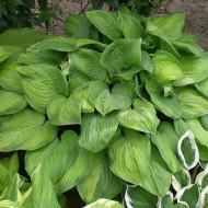 Funkie Guacamole, Hosta, Unterbepflanzung, Schattenpflanze