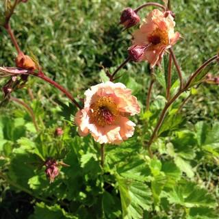 Nelkenwurz Mai Tai, Blütenpflanze