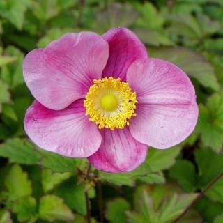 Herbstanemone Septembercharme, Anemone, Herbstblüher