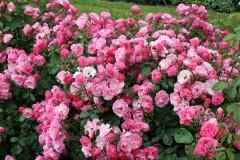 Beliebte Rosenbegleiter im Garten