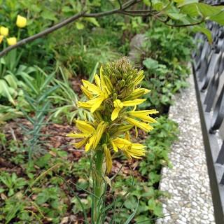 Junkerlilie, Blütenpflanze, Mittelmeerpflanze