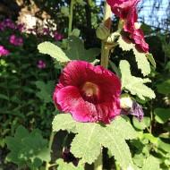 Stockrose, Bauerngarten, Blütenstaude