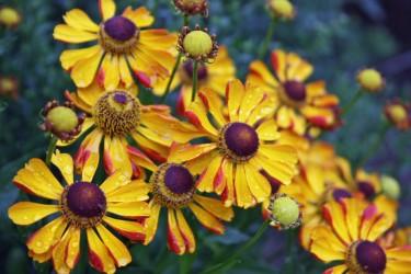 Sonnenbraut (Helenium) für den Garten