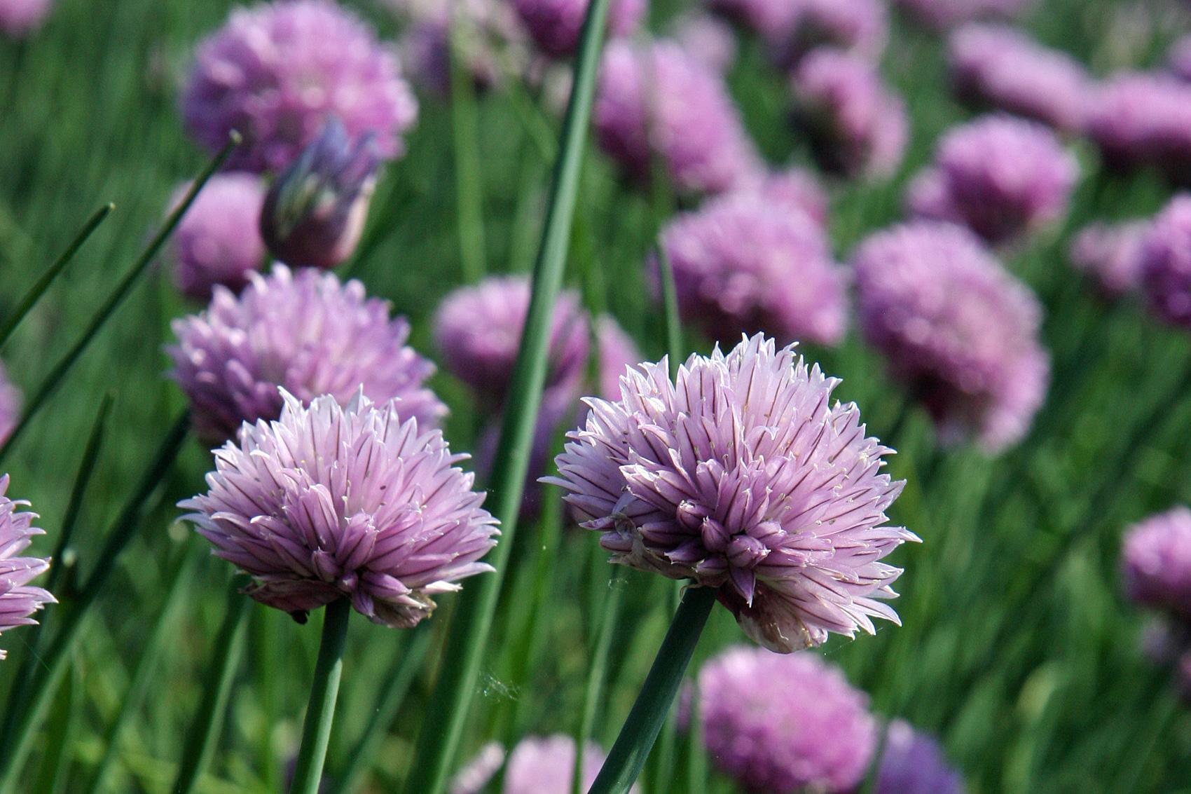 Allium-kati588f31278e21e