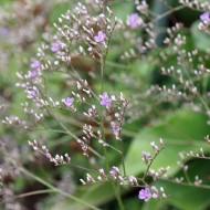 Strandflieder, Limonium, Blütenpflanze