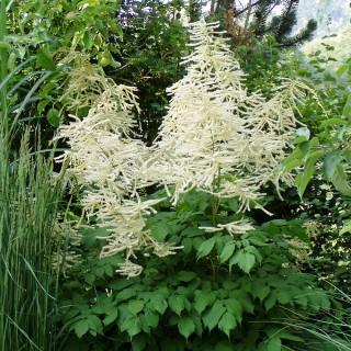 Prachspiere Brautschleier, Schattenpflanze, Blütenstaude