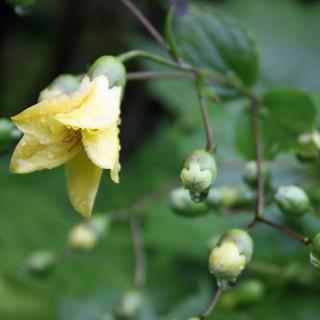 Wachsglocke, Schattenpflanze