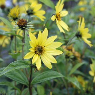 Staudensonnenblume Lemon Queen, Helianthus, Blütenstaude