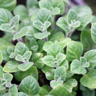 Bergminze, Duftpflanze