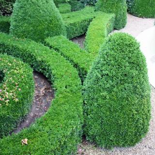 Buchsbaum, Ziergehölz, Schnitthecke, Immergrünes Formgehölz