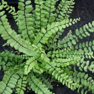 Streifenfarn, Farn, Schattenpflanze