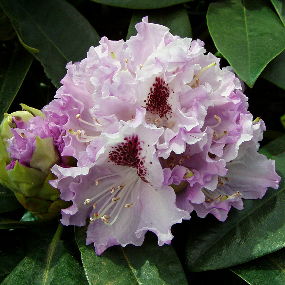 rhododendron hybride 39 blue peter 39 native plants. Black Bedroom Furniture Sets. Home Design Ideas