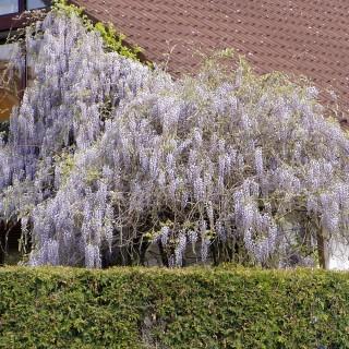 Amerikanischer Blauregen 'Longwood Purple'