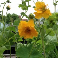 Nelkenwurz Goldball, Geum, Blütenstaude