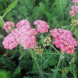 Schafgarbe, Blütenstaude