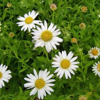 Schönaster, Aster, Blütenstaude