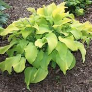 Gelblaubige Funkie August Moon, Hosta, Blattschmuck, Unterbepflanzung
