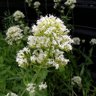 Spornblume Albus, Centranthus, Blütenstaude