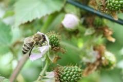 Bienenweide Brombeere