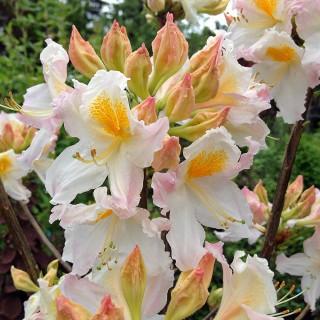 Rhododendron Möwe, Sommergrün, Moorbeetpflanze