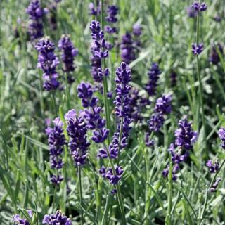 Lavendel Hidcote Blue, Lavendula, Duftpflanze