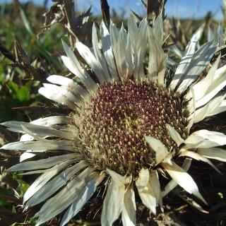 Silberdistel, Disterl, Steingarten, Alpenpflanze